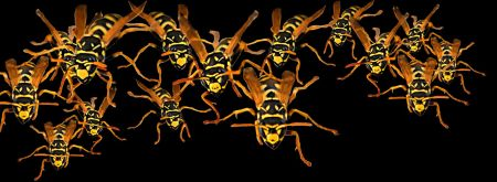 A swarm of yellow jackets